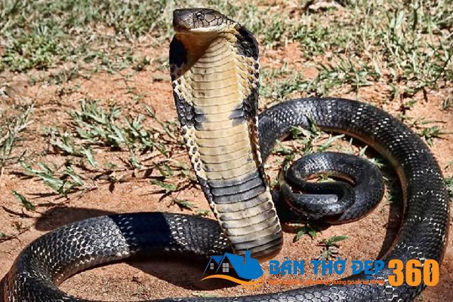 Nằm mơ thấy rắn hổ mang là điềm lành hay điềm dữ?