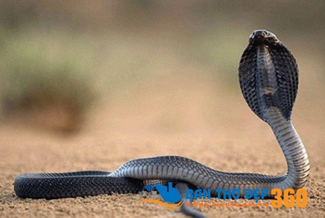 Ý nghĩa giấc mơ thấy rắn hổ mang theo ngày