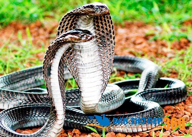 Nằm mơ thấy rắn hổ mang báo hiệu điều gì?